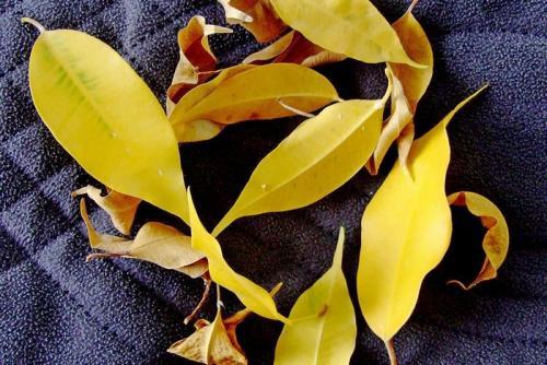 Почему фикус Бенджамина сбрасывает листья зимой, что делать. Фикус Бенджамина — желтеют и опадают листья, что делать