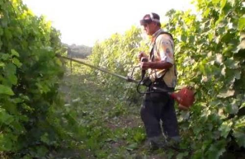 Пупырышки на виноградных листьях. Чем лечить болезни винограда?