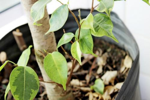 Почему у фикуса бенджамина осыпаются листья? Осыпаются листья у фикуса бенджамина, что делать