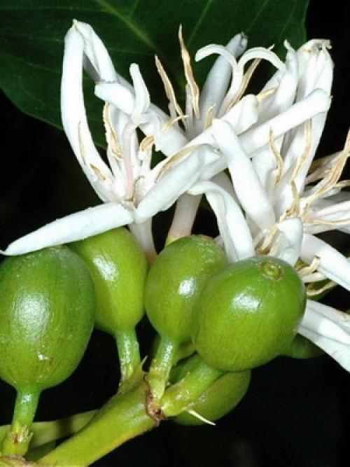 Как вырастить кофейное дерево дома. Уход за кофейным деревом в домашних условиях 12