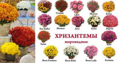 Посадка хризантемы шаровидной. Особенности выращивания шаровидных хризантем