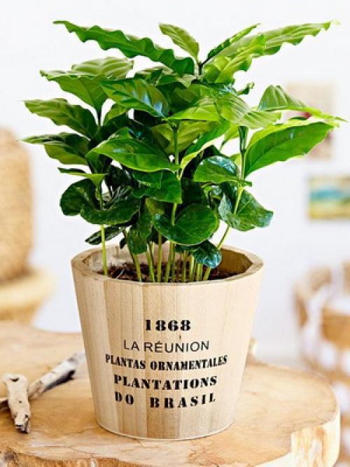 Как вырастить кофейное дерево дома. Уход за кофейным деревом в домашних условиях 20