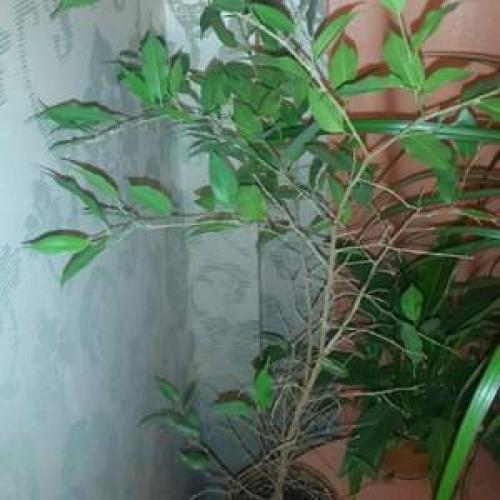 Почему у фикуса опадают листья зимой