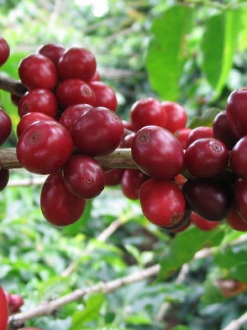 Как вырастить кофейное дерево дома. Уход за кофейным деревом в домашних условиях 14