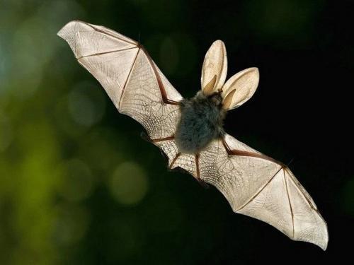 Как летают летучие мыши. Летучая мышь