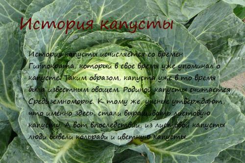 История капусты в россии. История капусты