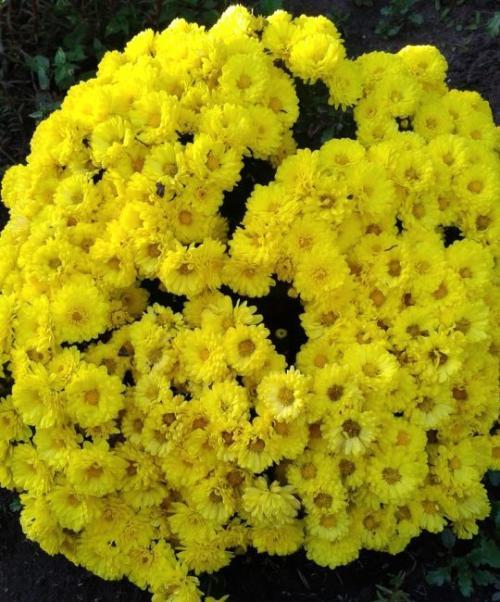 Хризантема Мультифлора брангала. Лучшие сорта хризантем Мультифлора (шаровидные)