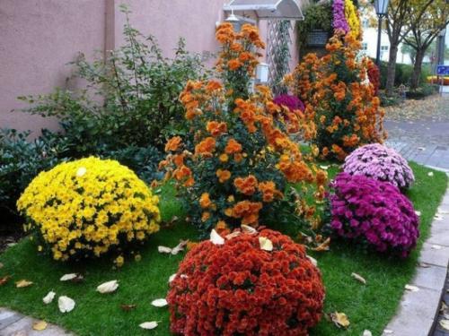 Хризантема мультифлора ранние сорта. Хризантема мультифлора: посадка и уход, черенкование, ранние сорта