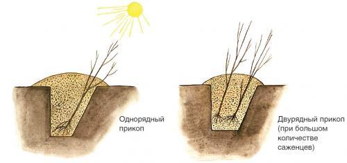 Как прикопать саженцы осенью до весны. 3 Как прикопать саженцы?