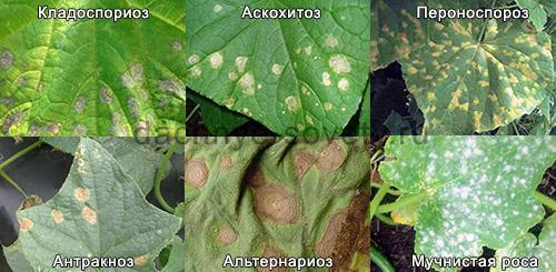 Желтые пятна на рассаде огурцов. Белые, бурые или желтые пятна на листьях огурцов – симптомы грибковой инфекции