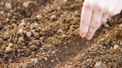 Укроп при какой температуре сажать. Инструкция по посадке укропа семенами в открытый грунт для начинающих огородников
