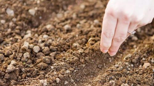 Подзимний посев укропа. Когда лучше сажать укроп под зиму, и можно ли так делать