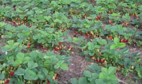 Как подготовить грядку под посадку клубники. Как правильно подготовить рассаду?