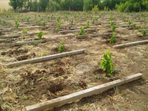 Расстояние между кустами винограда в ряду при посадке. Густота посадки
