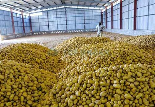 Критическая температура для картошки. Стадии подготовки и хранения