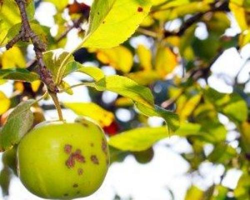 Как избавиться от парши на яблонях осенью. Что такое парша?