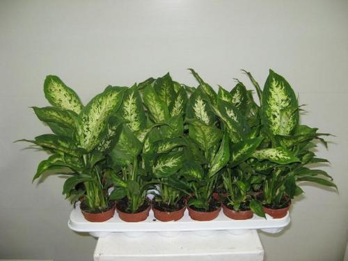 Насекомоядные растения в домашних условиях уход. Особенности выращивания хищников в комнатах 03