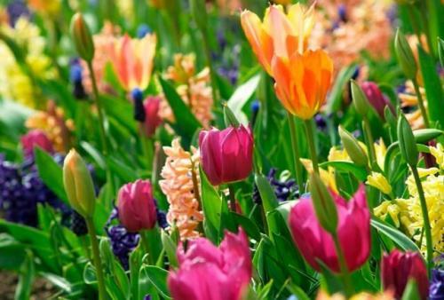 С, какими цветами посадить тюльпаны. Принципы рассадки тюльпанов. Подготовка участка