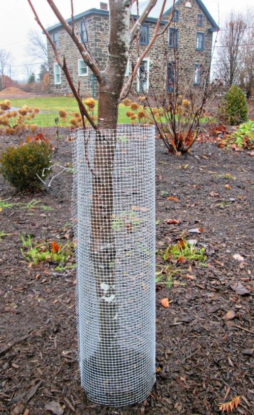 Когда укрывать деревья на зиму от зайцев. Защита сада от зайцев