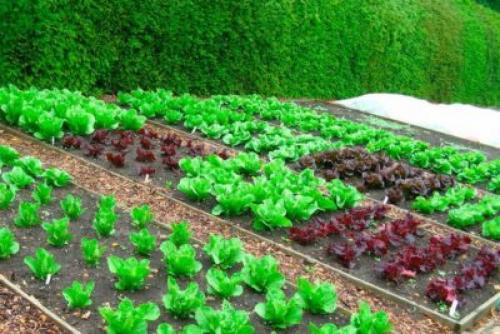 Огород в тени. Теневыносливые овощи для огорода