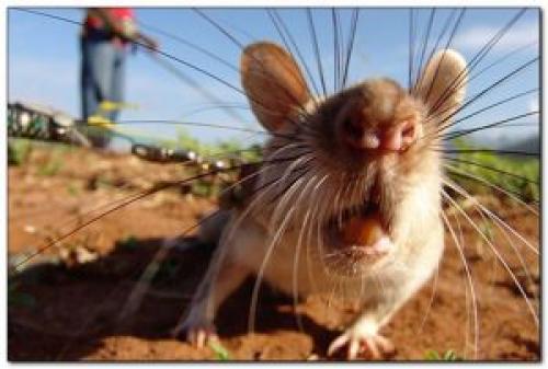 Крысы на даче, как избавиться. Как избавиться от крыс на даче