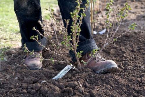 Сажаем крыжовник. Посадка крыжовника в открытом грунте осенью, весной – когда и как посадить