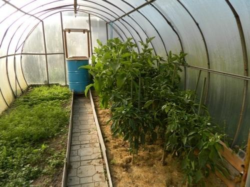 Как посеять горчицу в теплице. Сидераты для огурцов и томатов