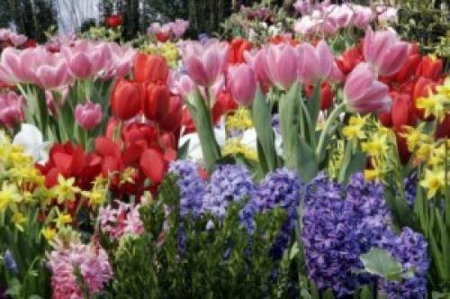 Соседи тюльпанов. Тюльпаны и компания