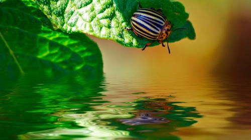 Когда появился колорадский жук в России. Появление колорадского жука в России