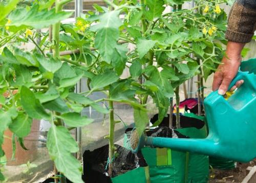 Полив томатов холодной водой. Правильный полив томатов: использование холодной и теплой воды