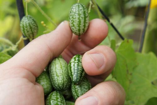 Маленькие огурцы сорт. Самые маленькие в мире огурцы — коктейльные огурцы Деви