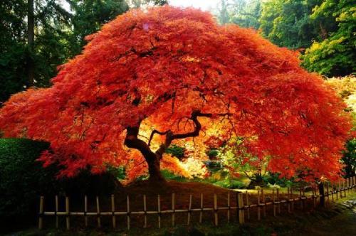 Клен красный японский веерный. Общая информация с описанием сортов