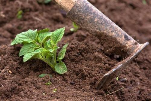 Почему картофель водянистый. Советы и вопросы