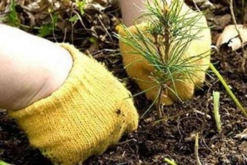 Как укрыть елку на зиму. Как выбрать место для елки