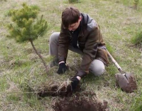 Как посадить ели и сосны на участке