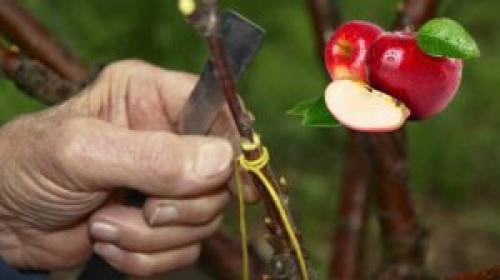 Воздушная прививка яблони. Правила и способы прививки яблонь весной, летом, осенью. Инструкции для начинающих