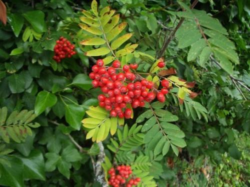 Как пересадить рябину из леса осенью