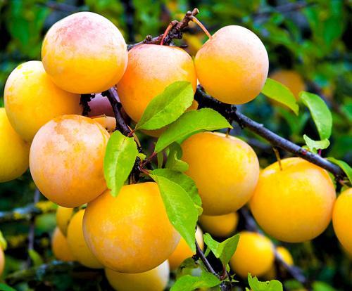 Что такое самобесплодный сорт черешни: что это значит, как опылять и будет ли плодоносить