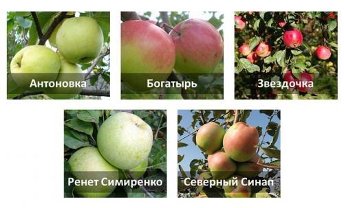 Зимние сорта яблок хранение. Шаг № 1: выбрать нужный сорт