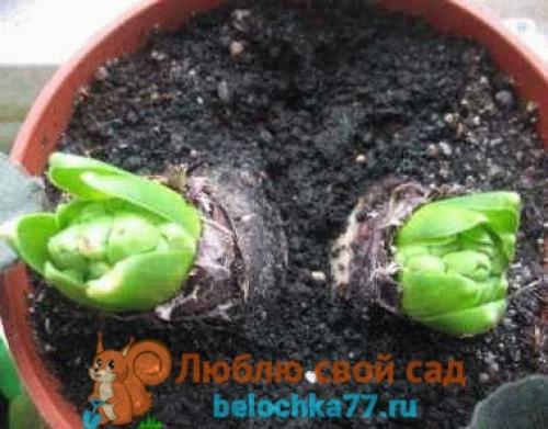 Выращивание цветов в горшках к 8 марта. Посадка к 8 марта (пошагово)