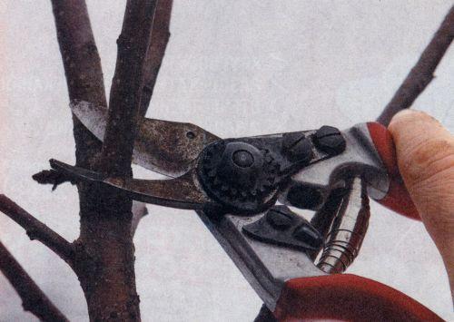 Чем можно обработать срез дерева после обрезки?