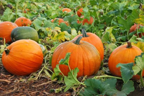 Боится ли тыква заморозков осенью. Уборка урожая тыквы до осенних заморозков: когда убирать и как организовать хранение на зиму?