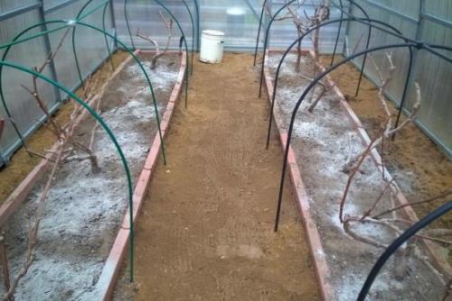 Расстояние между виноградом при посадке. Особенности посадки в теплицах