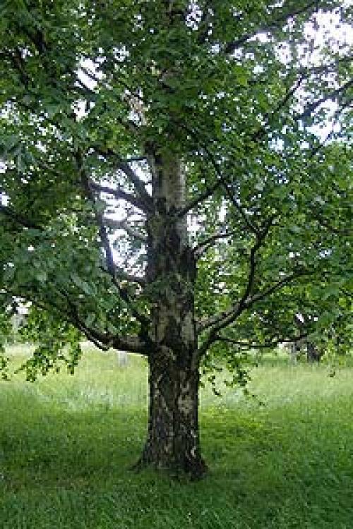 Береза японская декоративные деревья и кустарники