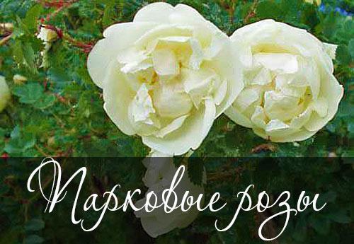 Как окультурить шиповник. Парковые розы (окультуренный шиповник) — посадка и уход