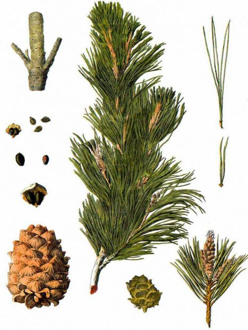 Сосна кедровая европейская pinus cembra. Сосна кедровая европейская, кедр европейский (Pinus cembra)