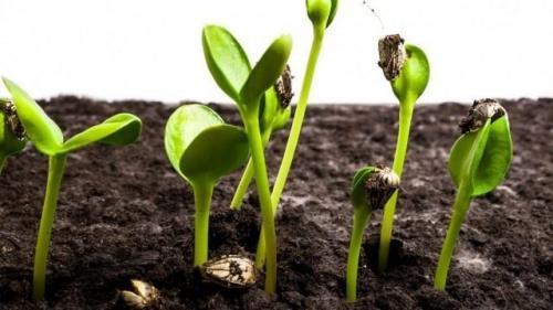Когда растет подсолнух. Требования подсолнечника к окружающей среде