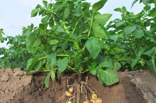 Что делать с ботвой картофеля. Ценность ботвы в качестве удобрения на огороде