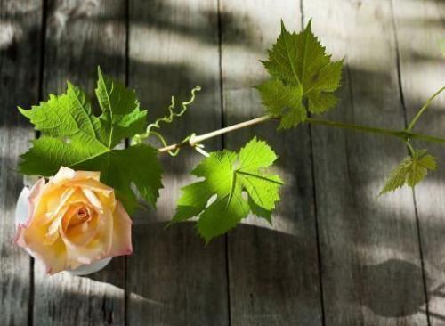Что посадить между кустами винограда. То ли враги, то ли друзья