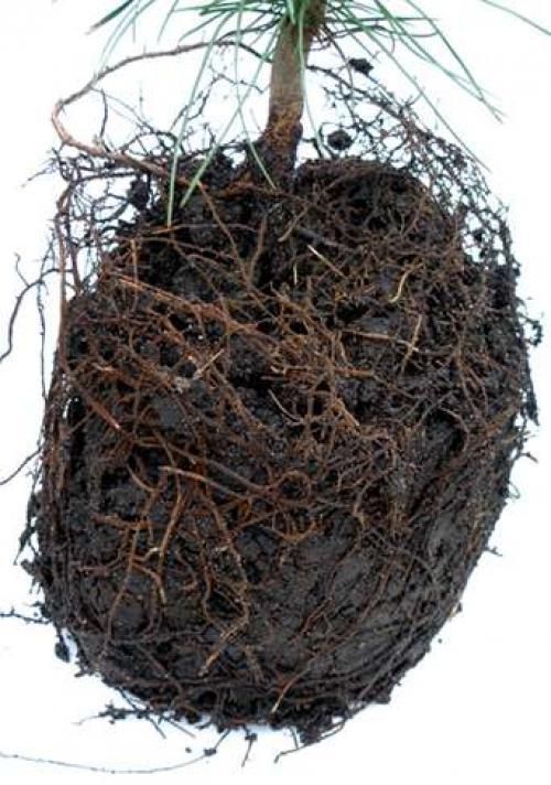 Через сколько лет кедр плодоносит